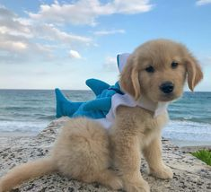 Precautions for the owner to love the dog - Gloria Love Pets - The world of cats and love - Super Cute Puppies, Cute Baby Dogs, Cute Little Puppies, Super Cute Animals, Cute Dogs And Puppies, Cute Funny Animals, Cute Baby Animals, Doggies, Corgi Puppies
