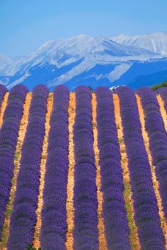 Lavender Campos de lavanda en la Provenza francesa http://www.traveler.es/viajes/rankings/galerias/vegetacion-del-mundo/575/image/27240