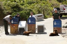 U.S. park rangers and Marine Mammal Center volunteers release Al Catraz and PupTart, two sea lion pups, at the edge of the Pacific Ocean at Point Reyes.  Photo: Charlie Gesell / Special To The Chronicle