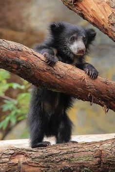 The sloth bear (Melursus ursinus), also known as the Stickney bear or labiated bear Sloth Bear, Bear Cubs, Grizzly Bears, Baby Sloth, Tiger Cubs, Tiger Tiger, Bengal Tiger, Baby Bears, 3 Bears
