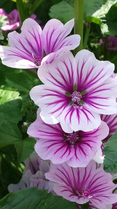 Mallow, French Hollyhock (Malva sylvestris) 'Zebrina' I hope mine from seed look like this when they bloom! Exotic Flowers, Amazing Flowers, Pretty Flowers, Purple Flowers, White Flowers, Small Flowers, Pictures Of Flowers, Beautiful Flowers Photos, Purple Iris