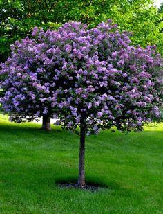 bloomerang tree web