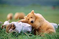 A young grizzly catches a quick nap in Katmai National Park, one of dozens of national parks with awe-inspiring views, wonder-producing wildlife and memories to last a lifetime. Our national heritage plus astonishing beauty? What's not to visit? From MOTHER EARTH NEWS magazine.