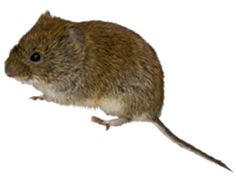 Do you know what vole is? Voles are often confused with house mice due to their similar appearance. Voles are also commonly mistaken with moles and gophers due to the similar damage they wreak in lawns and gardens. Click to learn more!