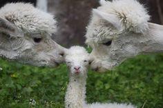alycat: Alpaca baby!