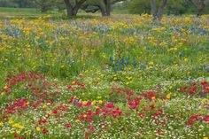 Red Wildflowers   797050028 field of wildflowers with brilliant red drummonds phlox ...