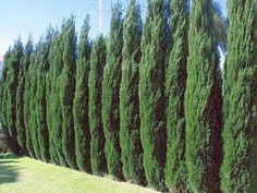 Spartan Juniper - fast growing evergreen; grows in a columnar shape with very dense branches and reaches a mature height of 15-20 feet, making it a good selection for those desiring a privacy hedge or wind barrier.