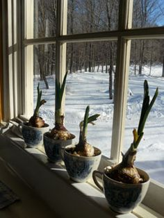 Paperwhites in teacups make a cheery winter windowsill