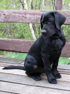 Love Black Lab