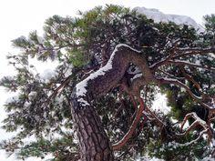 Snow on pine tree (South Korea) by Red Sun kim on 500px