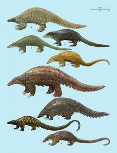 A pangolin (also referred to as a scaly anteater or trenggiling) is a mammal of the order Pholidota. Pangolin has large keratin scales covering its skin, and is the only known mammal with this adaptation. Nature Animals, Animals And Pets, Cute Animals, Creature Design, Animal Kingdom, Animals Beautiful, Mammals, Wildlife, Animal Illustrations