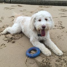 Pippin the Ttoodle  - Boxing Day fun at the beach