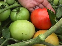 Reduce Watering By Dry Farming Tomatoes