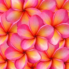 #Frangipani flower: beautiful colours!