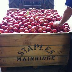 First bin picked many more to go it will be a long ten weeks#mainridge #staplesapples #fruit #fresh #winefoodfarmgate #morningtonpeninsula