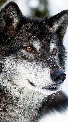 Tier / Wolf Hintergrundbilder – Famous Last Words Tier Wallpaper, Wolf Wallpaper, Animal Wallpaper, Mobile Wallpaper, Iphone Wallpaper, Wolf Photos, Wolf Pictures, Beautiful Creatures, Animals Beautiful