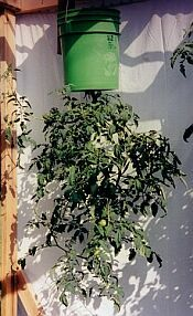 5 gallon bucket upside down planter for tomatoes and hot peppers