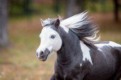 Mini Pony, Ponies, Russia, Animals, Animales, Animaux, Animal, Pony, Animais