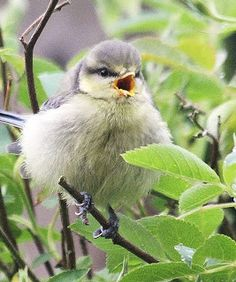 Young blue tit -Views from my Garden Gate |Pinned from PinTo for iPad|