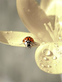Ladybird, ladybird, fly away home, your house has burnt down and your children are gone.......strange  little rhyme we used to sing as children......