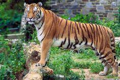 O tigre, o menino e o trânsito - @Motite