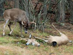 Real Animal Fights | This deer picked a fight with a plastic model he thought was a real ...