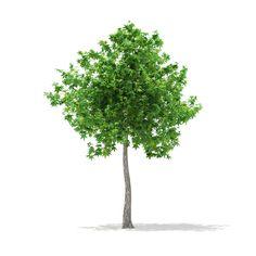 3D Model Of Sweetgum Tree Liquidambar Styraciflua - 3D Model
