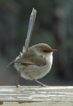 Female Superb Fairywren (Malurus cyaneus cyaneus) I just love it for the name. FAIRYWREN