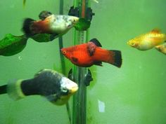 all types of platy for sale