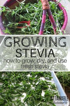 - Growing stevia is a way to produce some of your own natural sweetener. Plus, it… Growing stevia is a way to produce some of your own natural sweetener. Plus, it's a pretty addition to your herb garden, calorie free, and easy to grow. Indoor Vegetable Gardening, Home Vegetable Garden, Organic Gardening Tips, Container Gardening, Herb Gardening, Herbs Garden, Garden Tips, Garden Ideas, Pallet Gardening