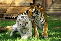 La foto del día: el tigre blanco, una bella mutación genética