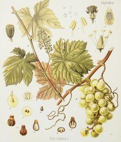O Botânico Aprendiz na Terra dos Espantos: Ilustrações botânicas* (II)