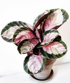House Plants Decor, Plant Decor, Plantas Indoor, Calathea Plant, Plants Are Friends, Plant Aesthetic, Pink Plant, Exotic Plants, Green Plants