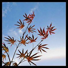 Røde blad