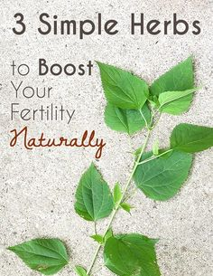 While not all infertility problems can be treated with herbs, some truly do need medical intervention, issues related to irregular cycles and ovulation, high stress, hormone imbalances or even weak uterine muscles may be helped with herbal remedies. Herbs For Fertility, Boost Fertility Naturally, Fertility Help, Fertility Foods, Natural Fertility, Women Fertility, Natural Healing, Help Getting Pregnant, Chances Of Getting Pregnant
