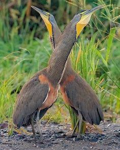 μακρύ μαύρο πουλί φωτογραφίες