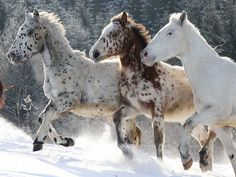 Knabstrupper - appaloosa horses running in the snow