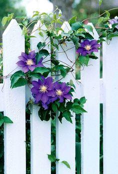 clematis hybride zaun lila blüten Mit ausgesprochen langer Blütezeit von Juni bis September