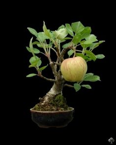 """Big apple on a tiny Bonsai tree"". It looks photoshopped, but it is in fact a real Bonsai. Leaves can grow smaller, but often fruits remain relatively big. For more information, read the Fruits and Flowers with Bonsai article. Photo by: Flowerstory. Bonsai Apple Tree, Flowering Bonsai Tree, Bonsai Plants, Bonsai Garden, Garden Trees, Bonsai Trees, Cactus Plants, Air Plants, Mame Bonsai"
