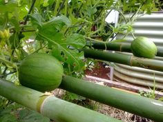 a clever watermelon support frame made of bamboo.