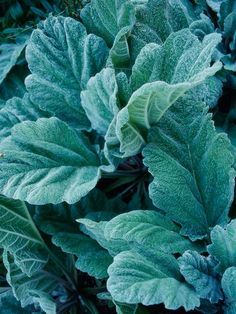 Best Silver-Leaf Plants for Your Garden Salvia argentea Silver Sage Looks a bit like lamb's ears Pretty Flowers, White Flowers, Trees To Plant, Plant Leaves, Silver Plant, Silver Sage, Big Leaves, Moon Garden, Foliage Plants