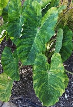 Colocasia esculenta Morning Dew PP 26865 (Morning Dew Elephant Ear) : Colocasia 'Morning Dew' is an amazing new elephant ear from Hawaii's Dr. John Cho. Colocasia 'Morning Dew' makes a 4' tall clump with glossy green ...