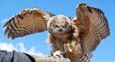 Great Horned Owl landing on expert Falconer's arm at Grouse Mountain.