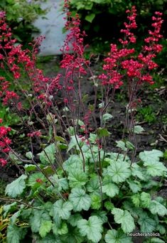 Heuchera 'Silver Dollar' from the Chelsea Gold Medal winning nursery Plantagogo, which is also the holder of the National Collection for Heuchera, Heucherella and Tiarella. Summer Flowers, Pink Flowers, Permaculture, Coral Bells Heuchera, Greenhouse Gardening, Silver Dollar, Garden Styles, Red And Pink, Habitats