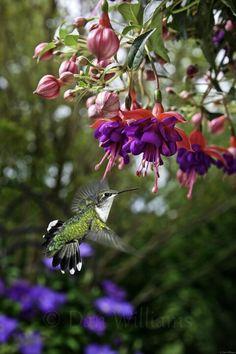 Hummingbird & fuchsia