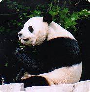 Tian Tian, the Zoo's male giant panda