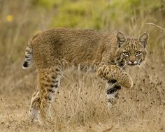 the elusive bobcat | Flickr - Photo Sharing!