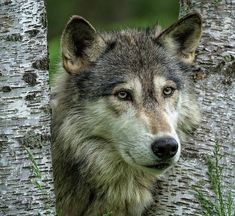 Gray Wolf by Steven Upton by beautiful-wildlife