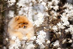 Flint the Pomeranian: Internet's New Favorite Pet - iVillage