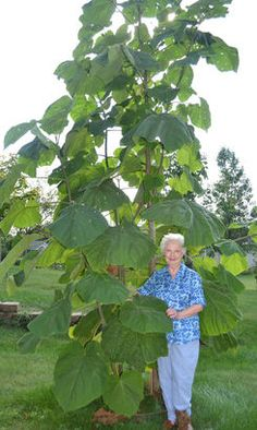 "Valois Brintnall stands next to her royal paulownia (empress tree) at her Marshalltown home Wednesday. The unique tree with giant leaves grows more than 12 feet each growing season. It is then chopped down and grows the next season at the same rapid rate. ""It just grows phenomenally,"" Brintnall said."
